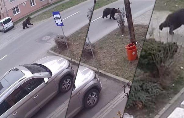 Fényes nappal szaladgált egy medve Segesvár utcáin