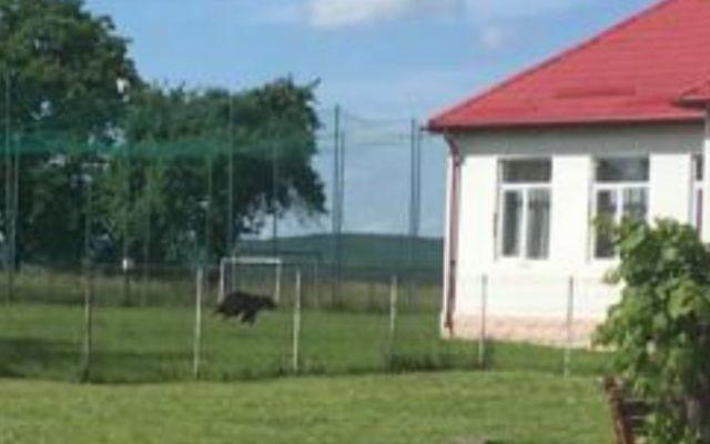Iskola udvarán sétált egy medve