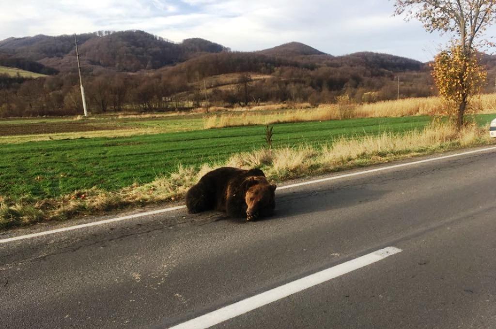 Rendőrségi ügy lett a Parajdnál szenvedni hagyott medve ügyéből