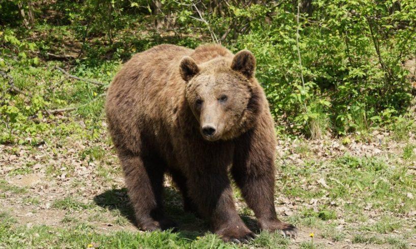 Külföldi turistákra támadt egy medve